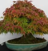 Bonsai Jap. Fächerahorn, Acer palmatum, nr. 5521