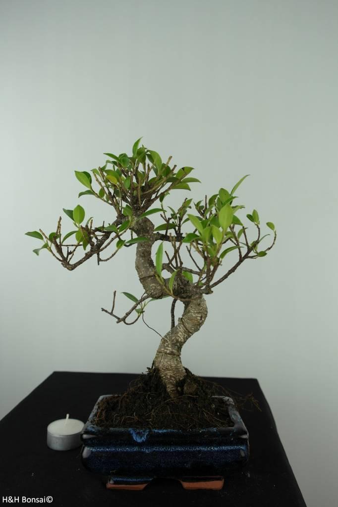 Bonsai Fig Tree, Ficus retusa, no. 6538