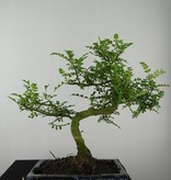 Bonsai Pfefferbaum, Zanthoxylum piperitum, nr. 6545