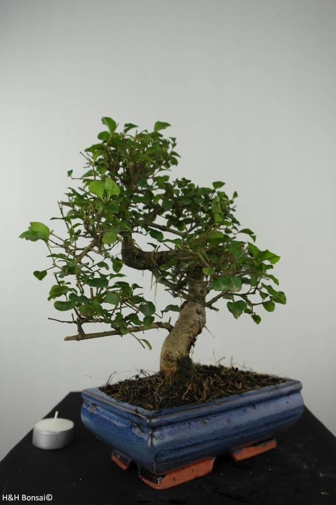 Bonsai Ligustrum nitida, nr. 6550
