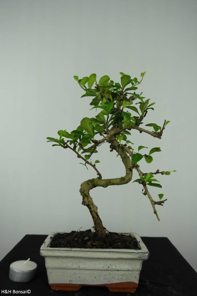 Bonsai Fukientee, Carmona macrophylla, nr. 6559
