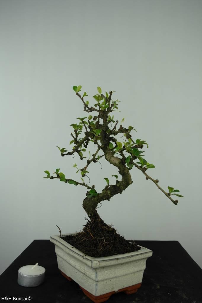 Bonsai Fukientee, Carmona macrophylla, nr. 6560