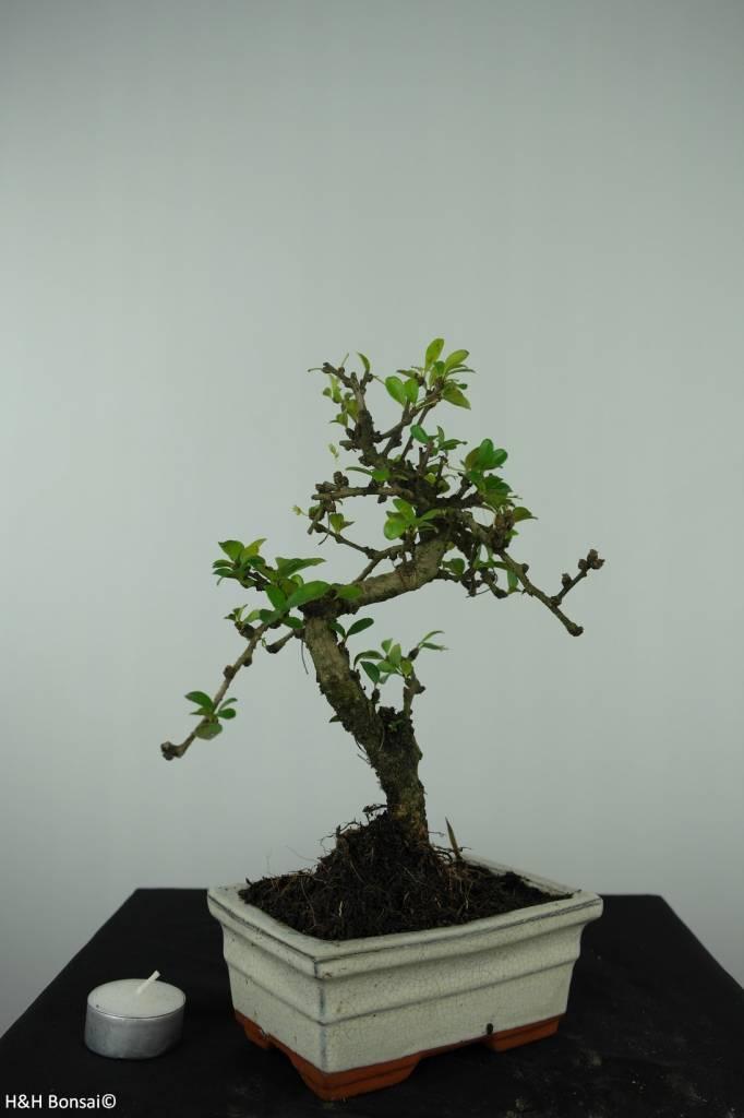 Bonsai Fukien Tea, Carmona macrophylla, no. 6560