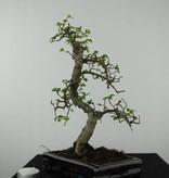 Bonsai Chin. Ulme, Ulmus, nr. 6580