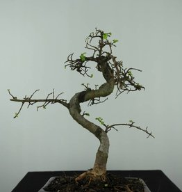Bonsai Chin. Ulme, Ulmus, nr. 6582