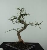 Bonsai Chin. Ulme, Ulmus, nr. 6582
