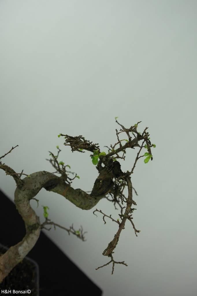 Bonsai Chinese Elm, Ulmus, no. 6582