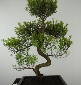 Bonsai Syzygium sp., no. 6605