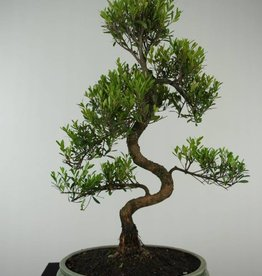 Bonsai Syzygium sp., no. 6608