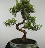 Bonsai Syzygium sp., nr. 6608