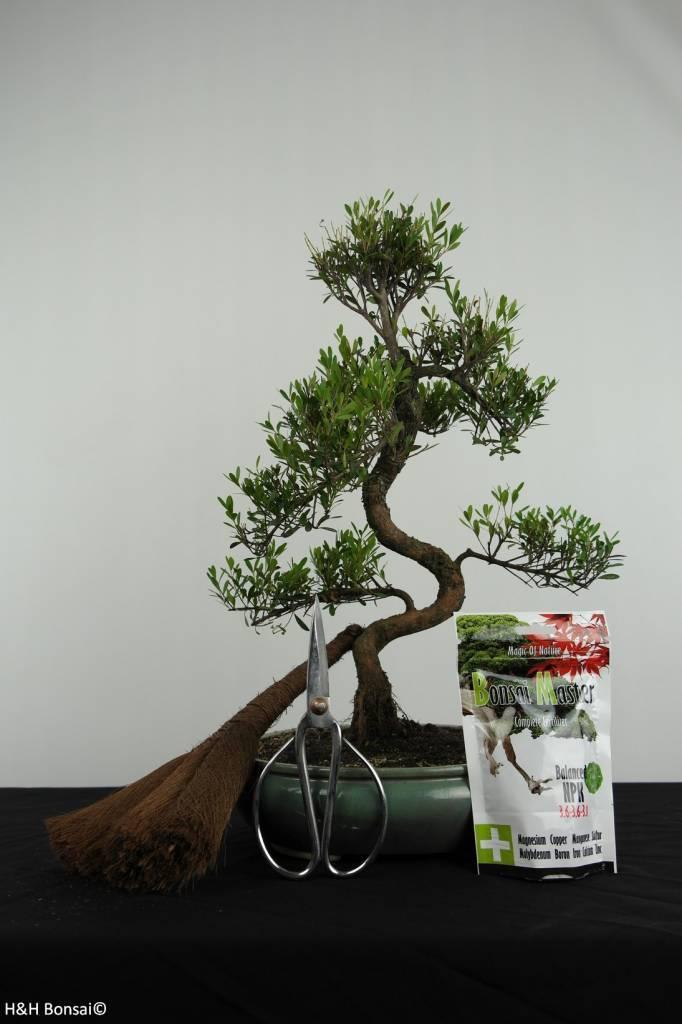 Bonsai Geschenk Syzygium, nr. G37