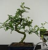 Bonsai Geschenk Pfefferbaum, nr. G39