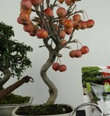 Bonsai gift set Combi Crabapple and Cotoneaster, no. G44