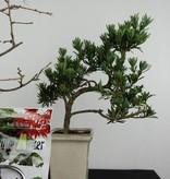 Bonsai Geschenk Kombi Goldlärche und Chin. Steineibe, nr. G46
