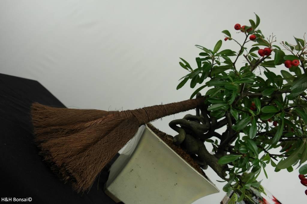 Bonsai Geschenk Feuerdorn, nr. G48