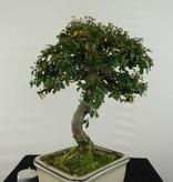 Bonsai Zwergmispel, Cotoneaster, nr. 6617