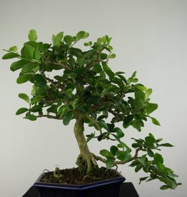 Bonsai Barbados Cherry, Malpighia glabra, no. 6625