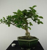 Bonsai Barbados Cherry, Malpighia glabra, no. 6626