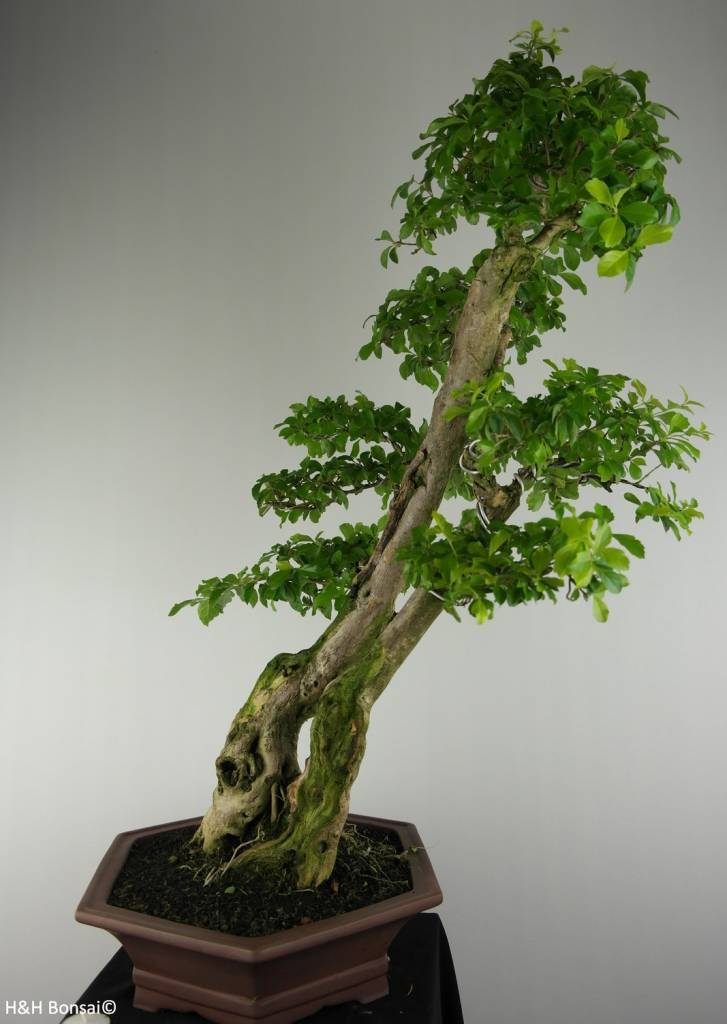 Bonsai Duranta repens, no. 6631
