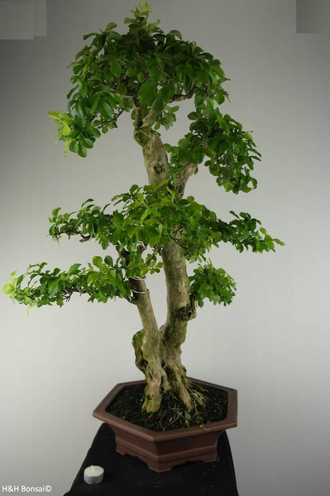 Bonsai Taubenbeere, Duranta repens, nr. 6631