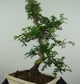 Bonsai Pfefferbaum, Zanthoxylum piperitum, nr. 6657