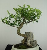 Bonsai Pfefferbaum, Zanthoxylum piperitum, nr. 6666