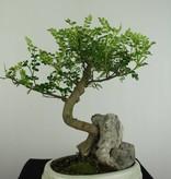 Bonsai Pfefferbaum, Zanthoxylum piperitum, nr. 6666