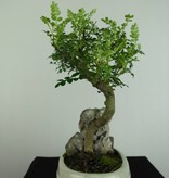 Bonsai Japanese Pepper, Zanthoxylum piperitum, no. 6666