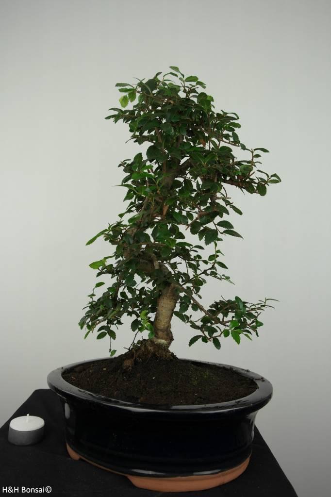 Bonsai Elm, Ulmus, no. 6689