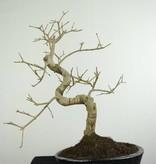 Bonsai Esche, Fraxinus sp., nr. 6699