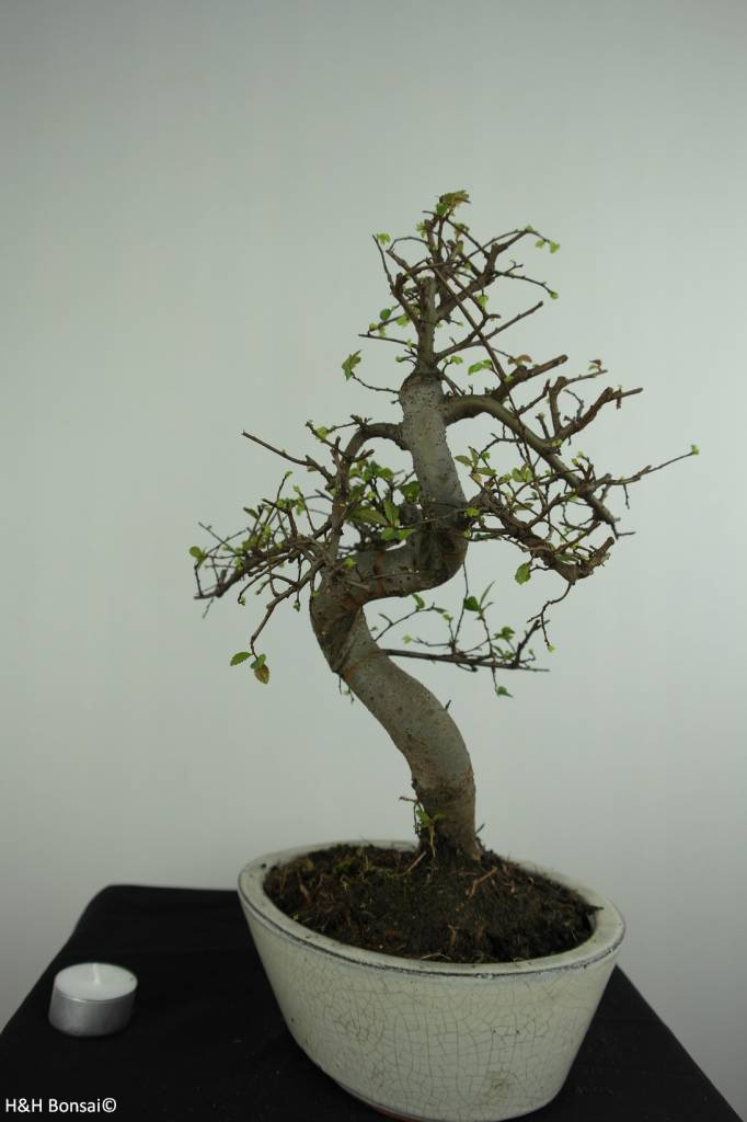 Bonsai Chin. Ulme, Ulmus, nr. 6708