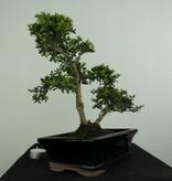 Bonsai Japanische Stechpalme, Ilex crenata, nr. 6716