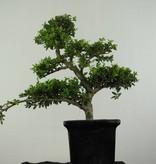 Bonsai Japanische Stechpalme, Ilex crenata, nr. 6717