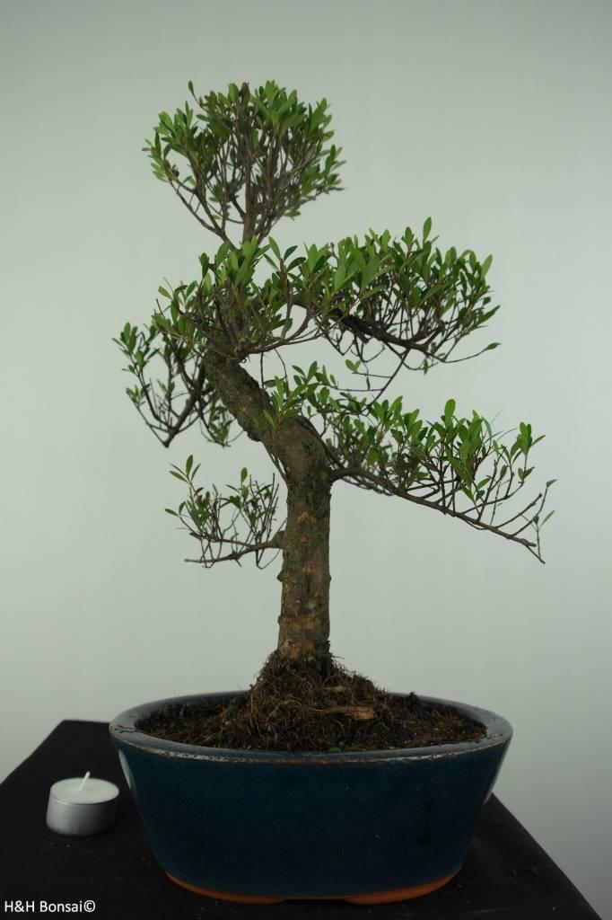 Bonsai Syzygium sp., nr. 6728