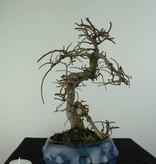 Bonsai Chinese Elm, Ulmus, no. 6758