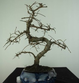 Bonsai Chinese Elm, Ulmus, no. 6764