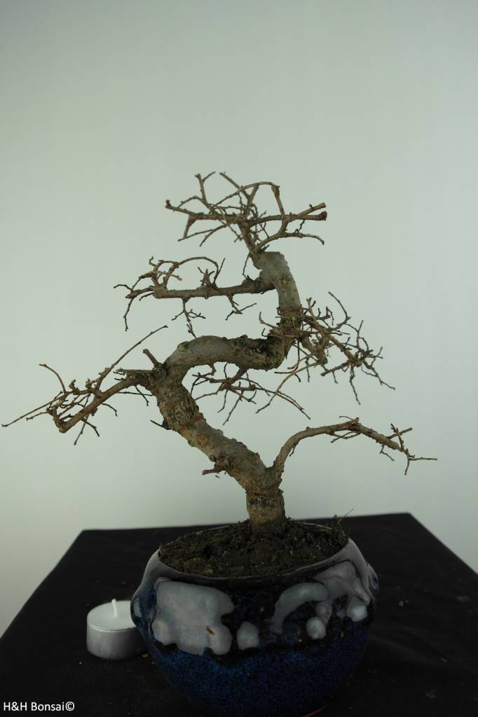Bonsai Chin. Ulme, Ulmus, nr. 6764