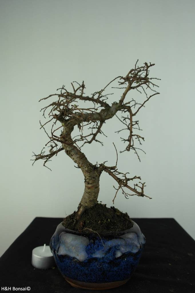 Bonsai Chin. Ulme, Ulmus, nr. 6773