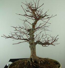 Bonsai Japanese maple, Acer palmatum, no. 6782