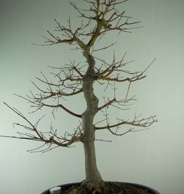 Bonsai Japanese maple, Acer palmatum, no. 6783