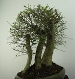 Bonsai Chin. Ulme, Ulmus, nr. 6825