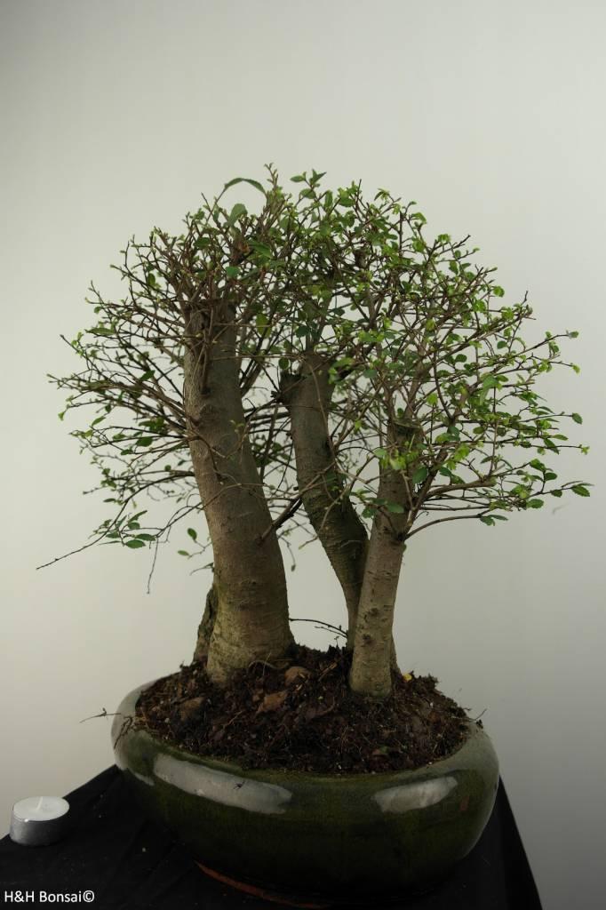 Bonsai Chinese Elm, Ulmus, no. 6825