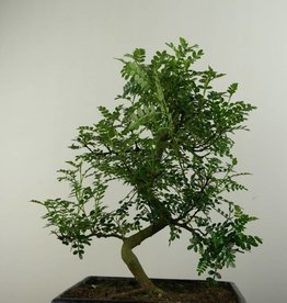 Bonsai Japanese Pepper, Zanthoxylum piperitum, no. 6830