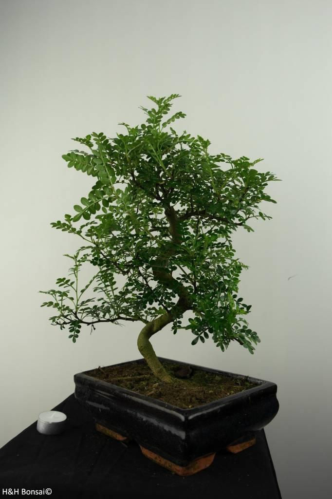 Bonsai Pfefferbaum, Zanthoxylum piperitum, nr. 6830