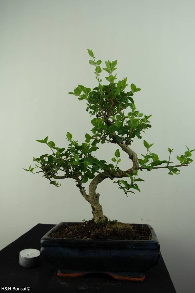 Bonsai Ligustrum nitida, nr. 6836