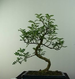 Bonsai Japanese Pepper, Zanthoxylum piperitum, no. 6840