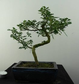 Bonsai Japanese Pepper, Zanthoxylum piperitum, no. 6841
