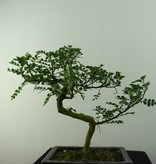 Bonsai Pfefferbaum, Zanthoxylum piperitum, nr. 6841