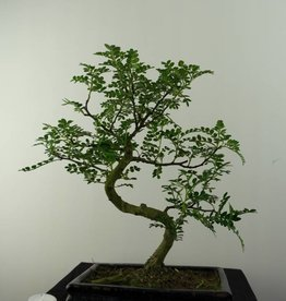 Bonsai Japanese Pepper, Zanthoxylum piperitum, no. 6842