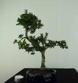 Bonsai Japanese Holly, Ilexcrenata, no. 6888